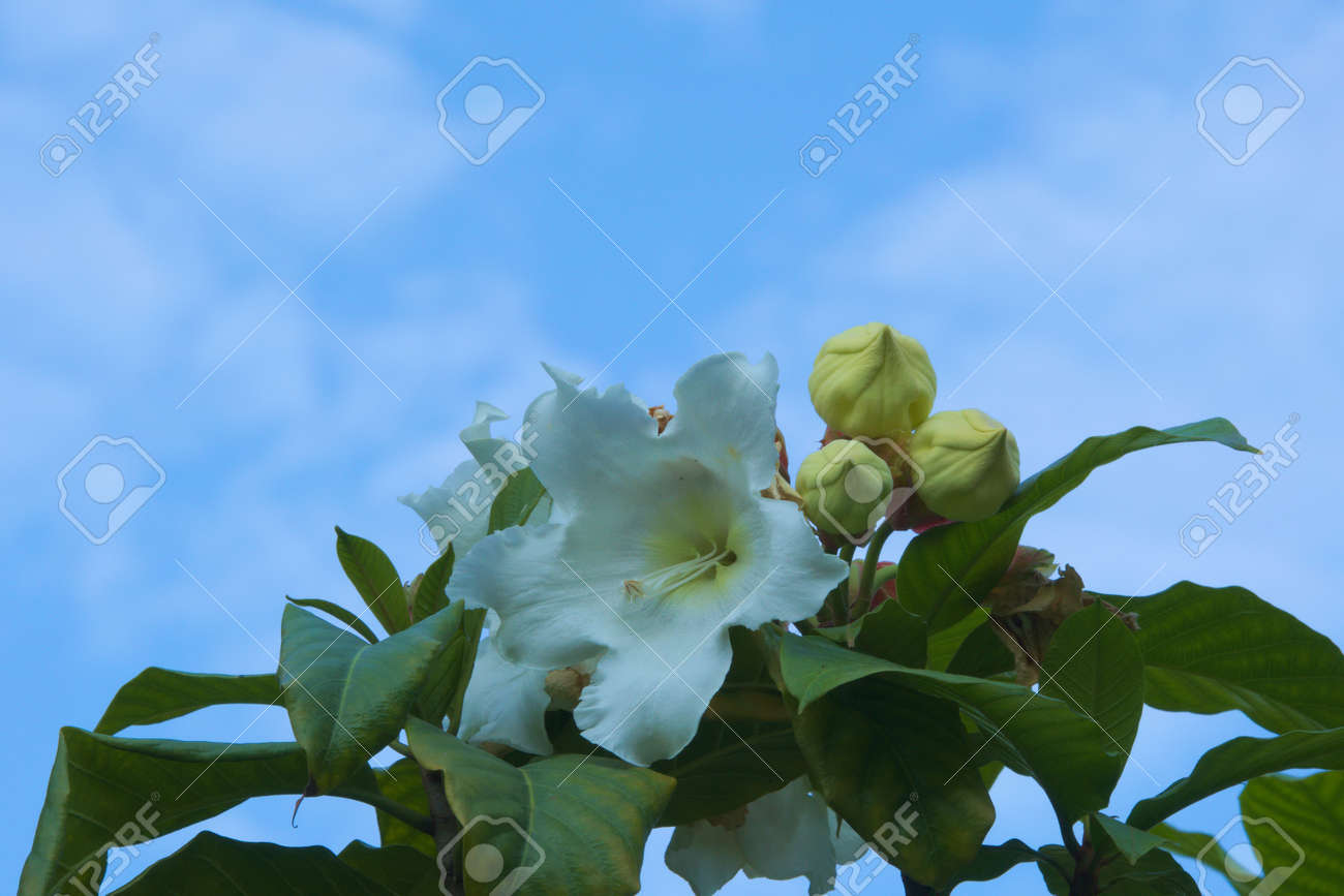 Large Beautiful White Cluster Of Tree Flowers In Front Of A Stock
