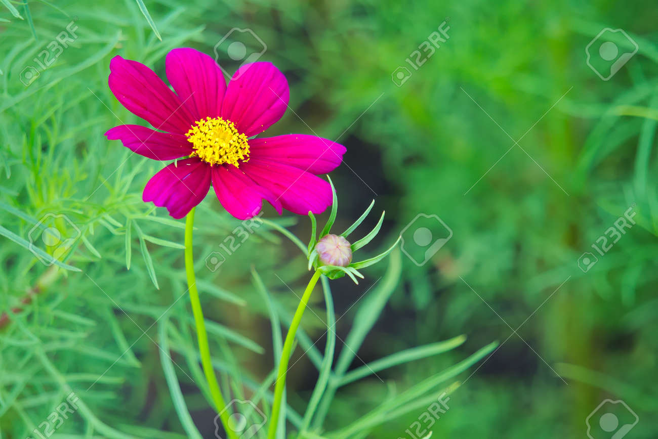 A Beautiful And Stunning Lovely Yet Simple Dark Pink Flower