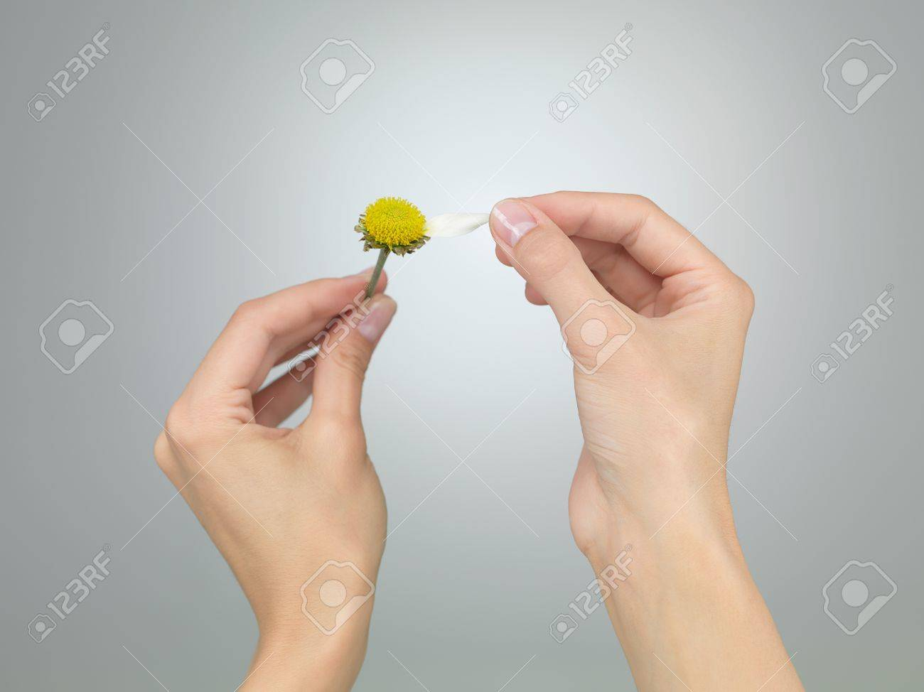 female hands puling the last petal from a daisy on grey gradient background Stock Photo - 17853171