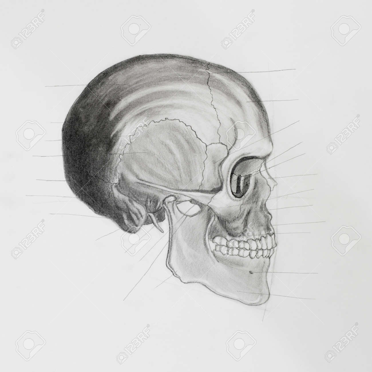 hand drawn pencil illustratin, side view of human skull with directive lines pointing at bone parts, on white paper Stock Photo - 23653498