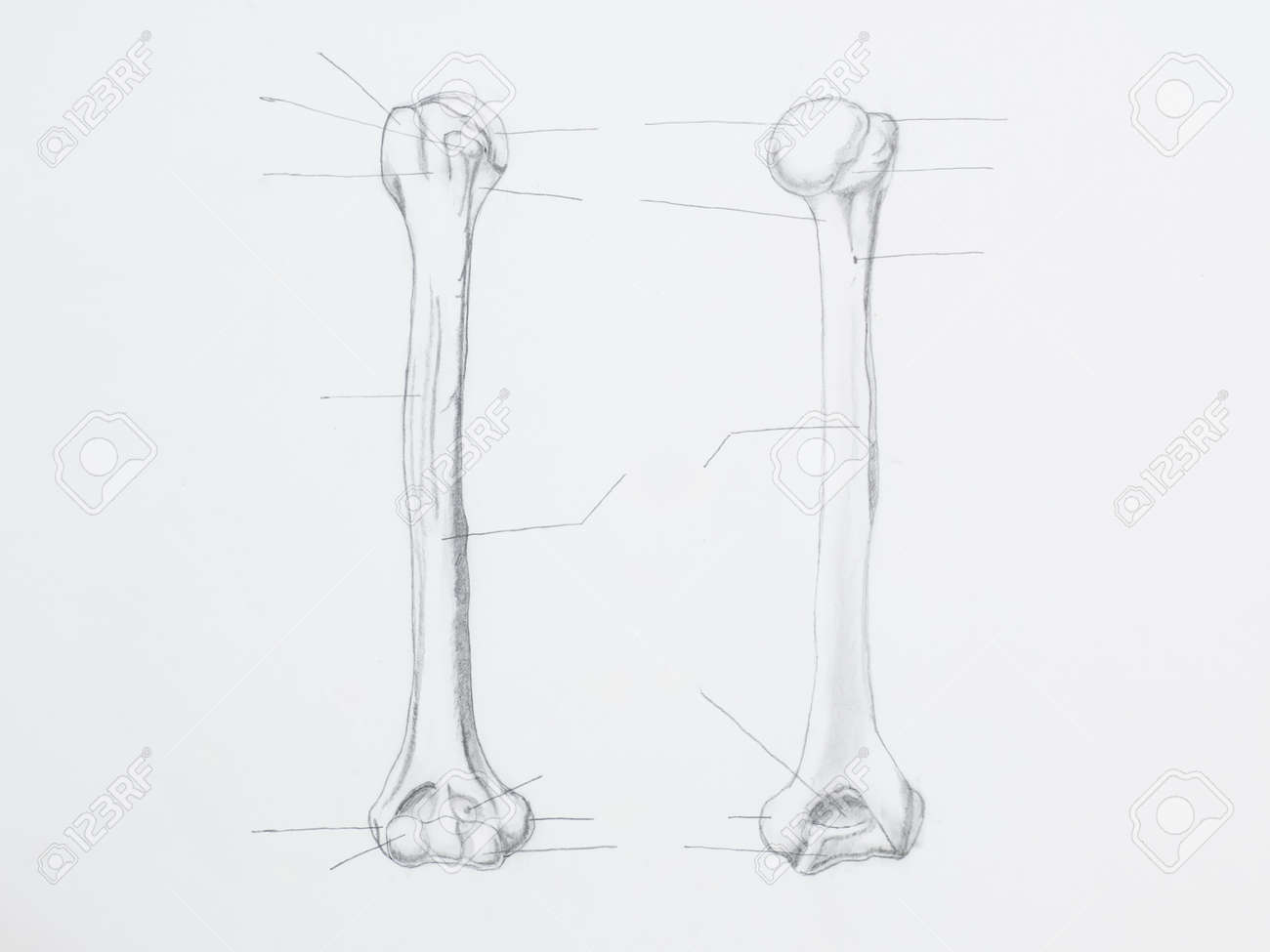 Detail of humerus pencil drawing on white paper Stock Photo - 23653511