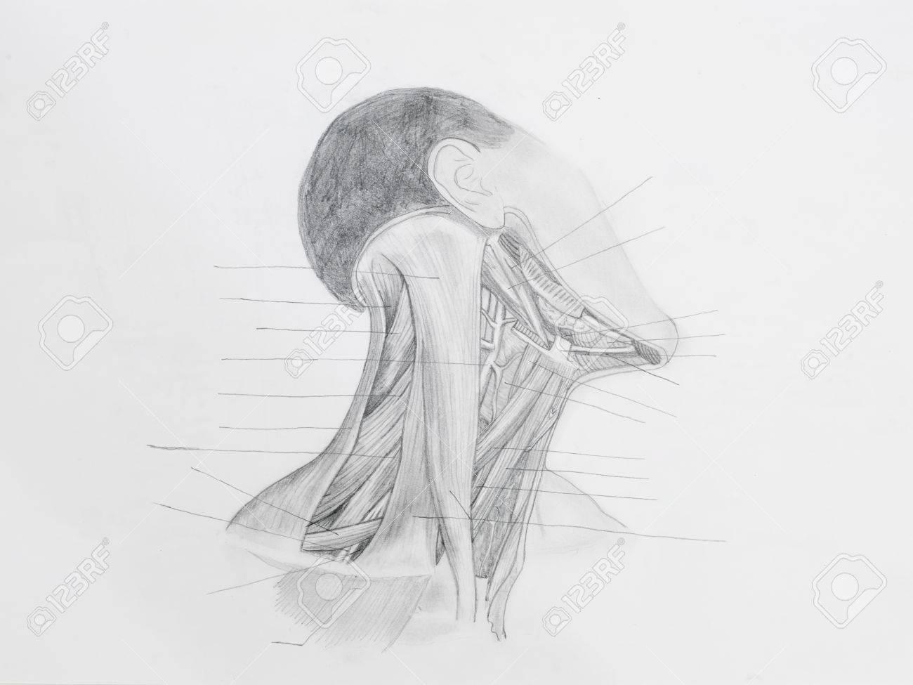 Detalle De La Parte Frontal Del Cuello Músculos Dibujo A Lápiz Sobre ...