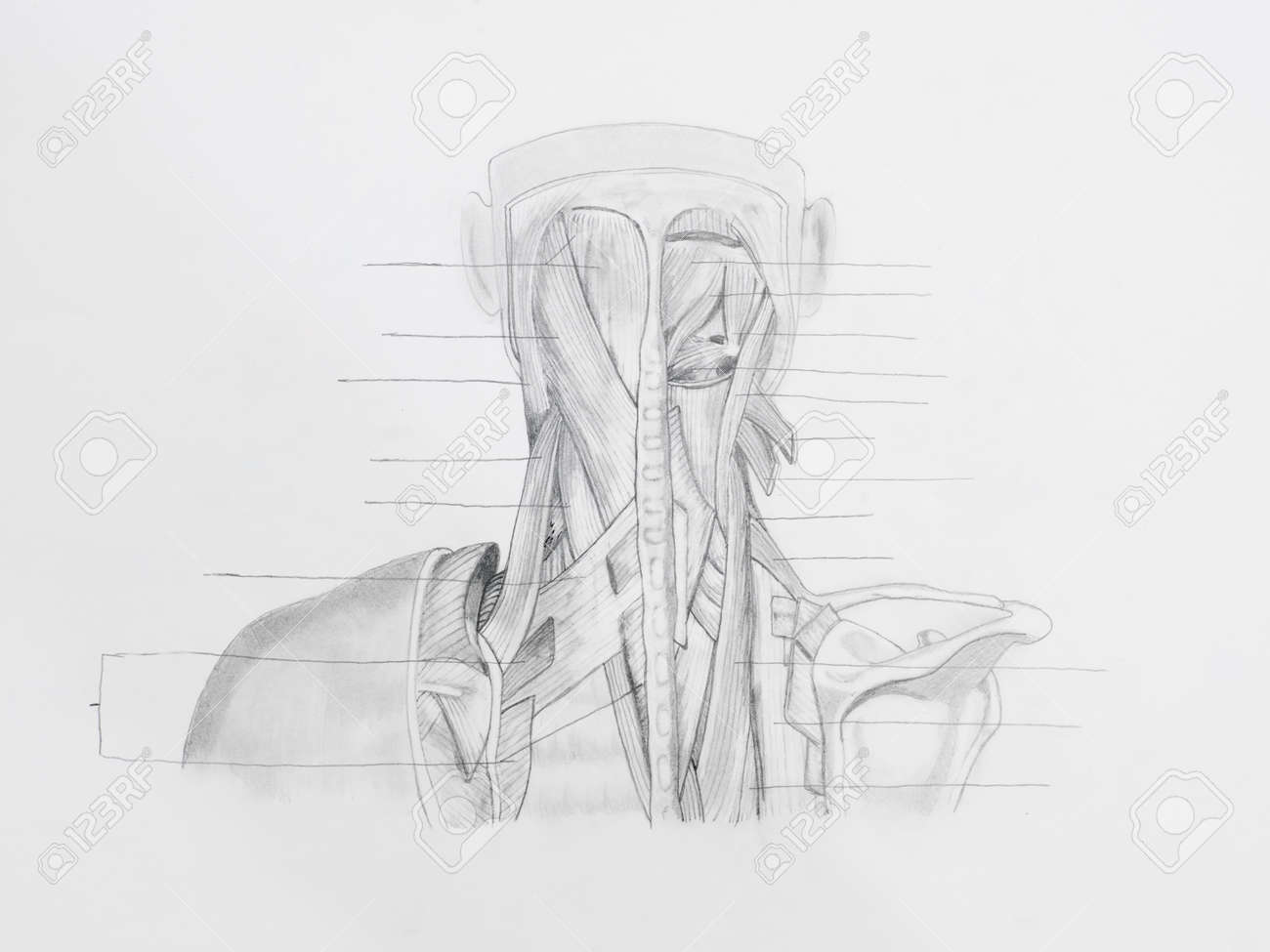 Detalle De La Parte Posterior Del Cuello Músculos Dibujo A Lápiz ...