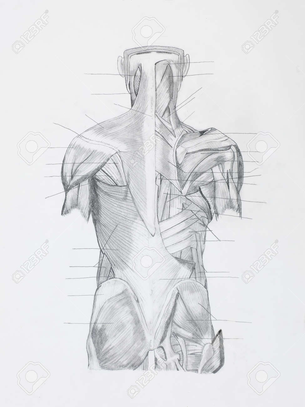 Moderno Diagrama De Músculos De La Espalda Viñeta - Anatomía de Las ...