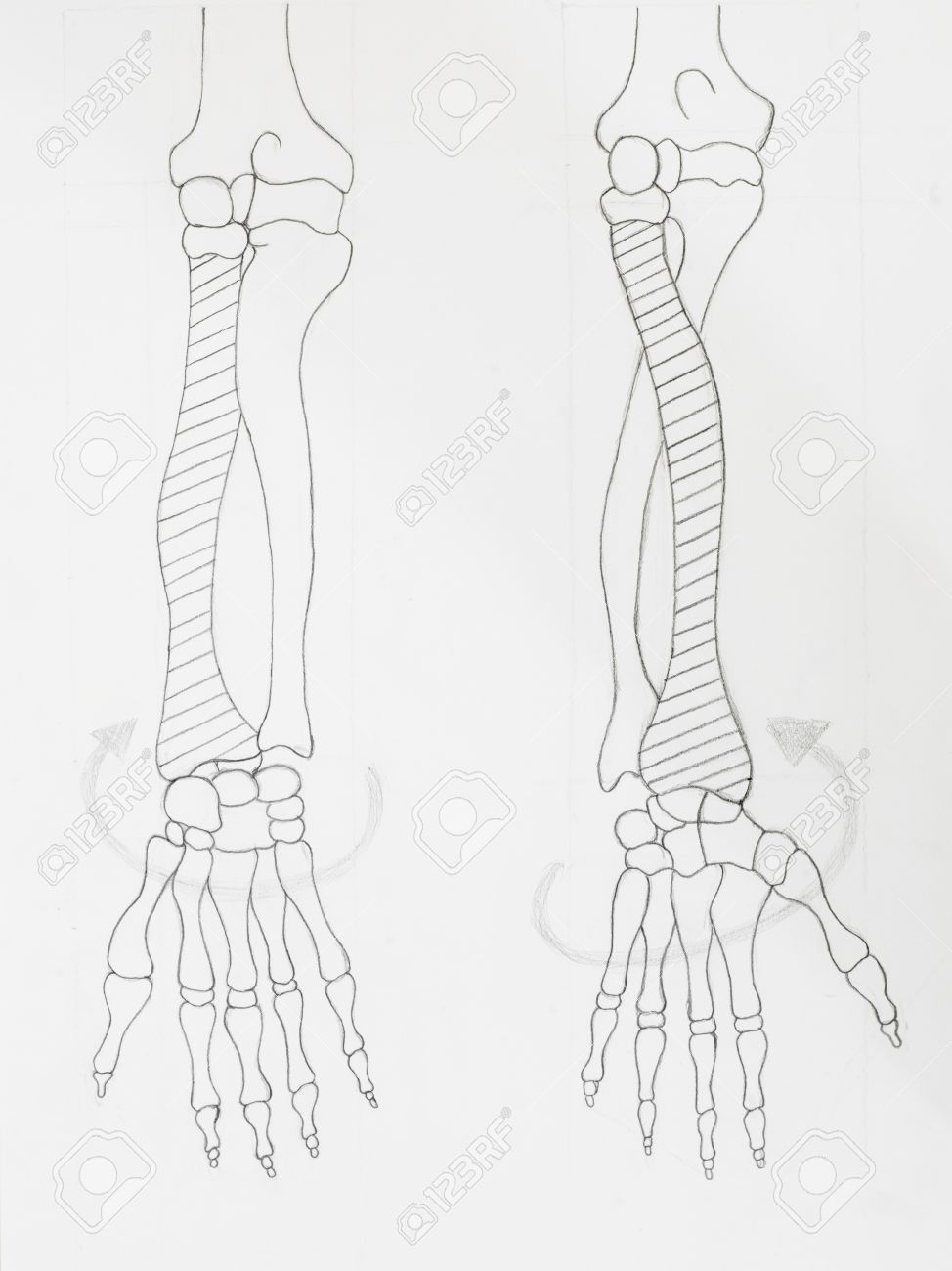 Detail Of Arm Bones Pencil Drawing On White Paper Stock Photo