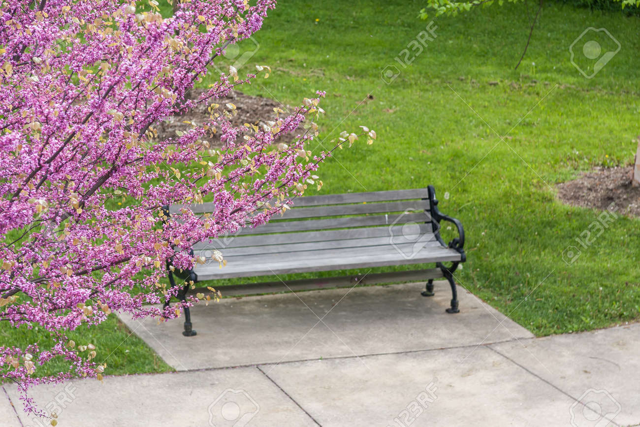 A Red Bud Tree Blooming In Front Of A Park Bench On A Beautiful