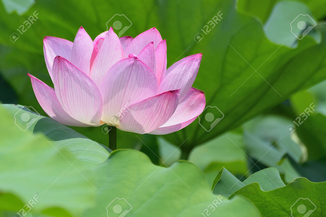 Macro Texture Of Japanese Pink Lotus Flower With Blurred Background