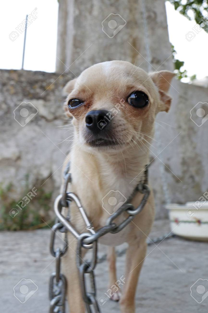 Little chihuahua dog in chains making a funny face stock photo little chihuahua dog in chains making a funny face stock photo 44197594 voltagebd Image collections