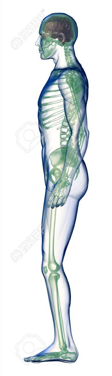 body x-ray side view on white Stock Photo - 12966371