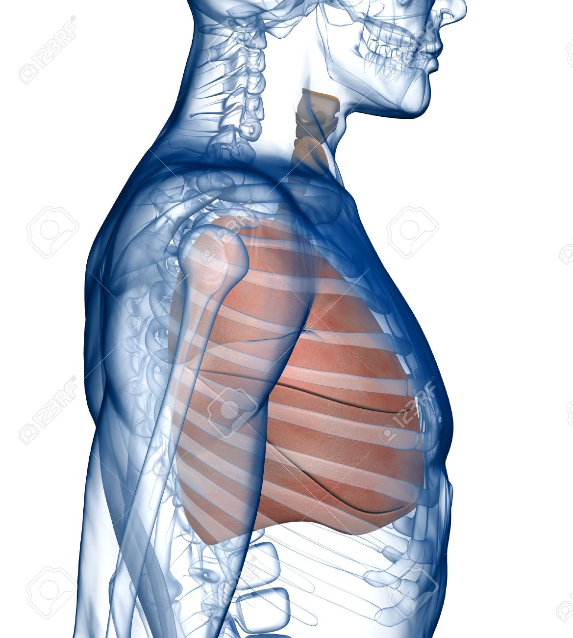 Lungs In The Ribcage Side View Stock Photo Picture And Royalty