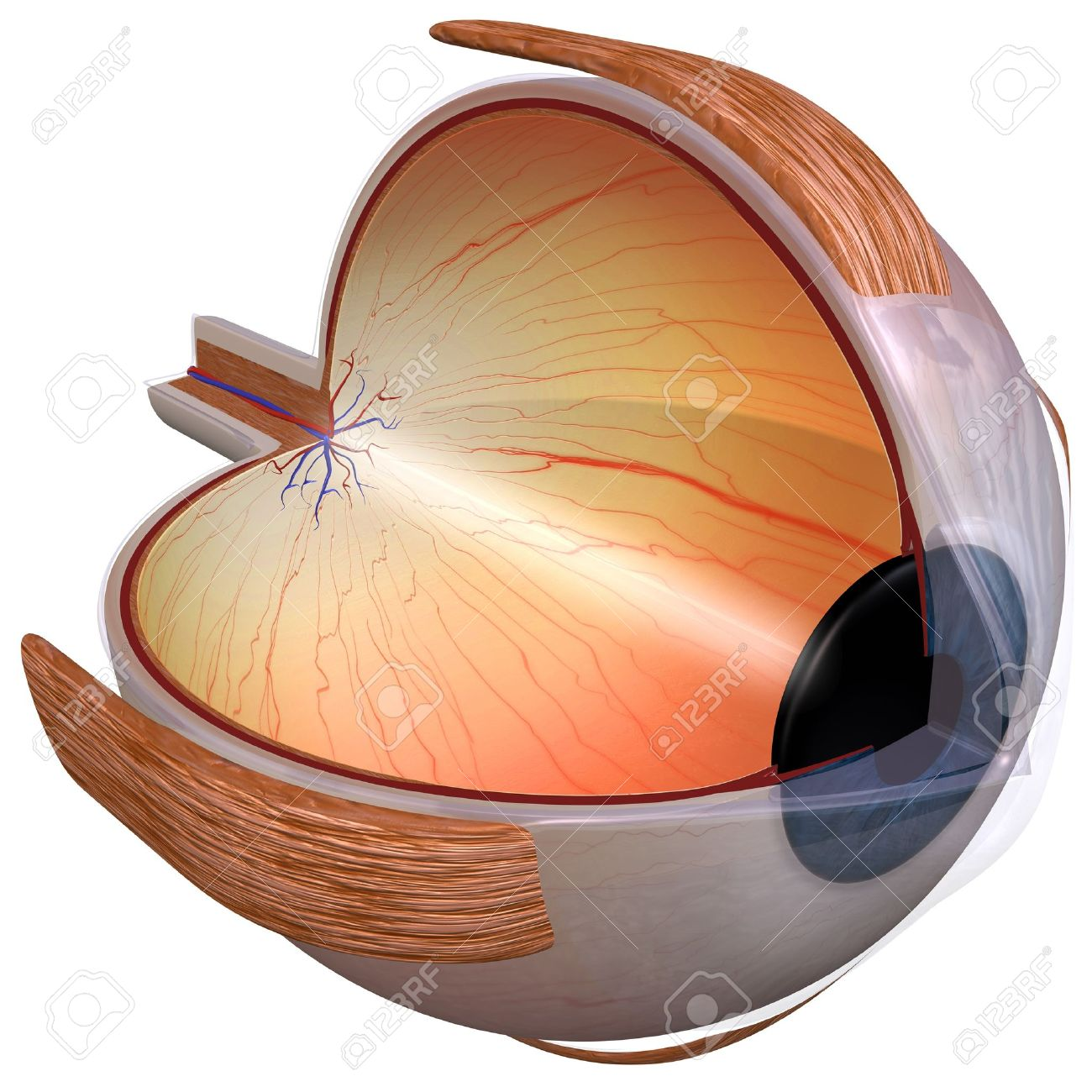 Human Eye Diagram Three Quarter View Stock Photo Picture And 13692580