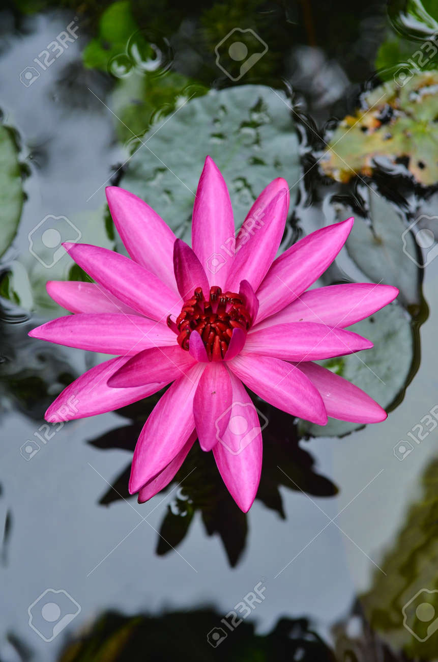 The lotus blossom in the morning. Stock Photo - 16607135