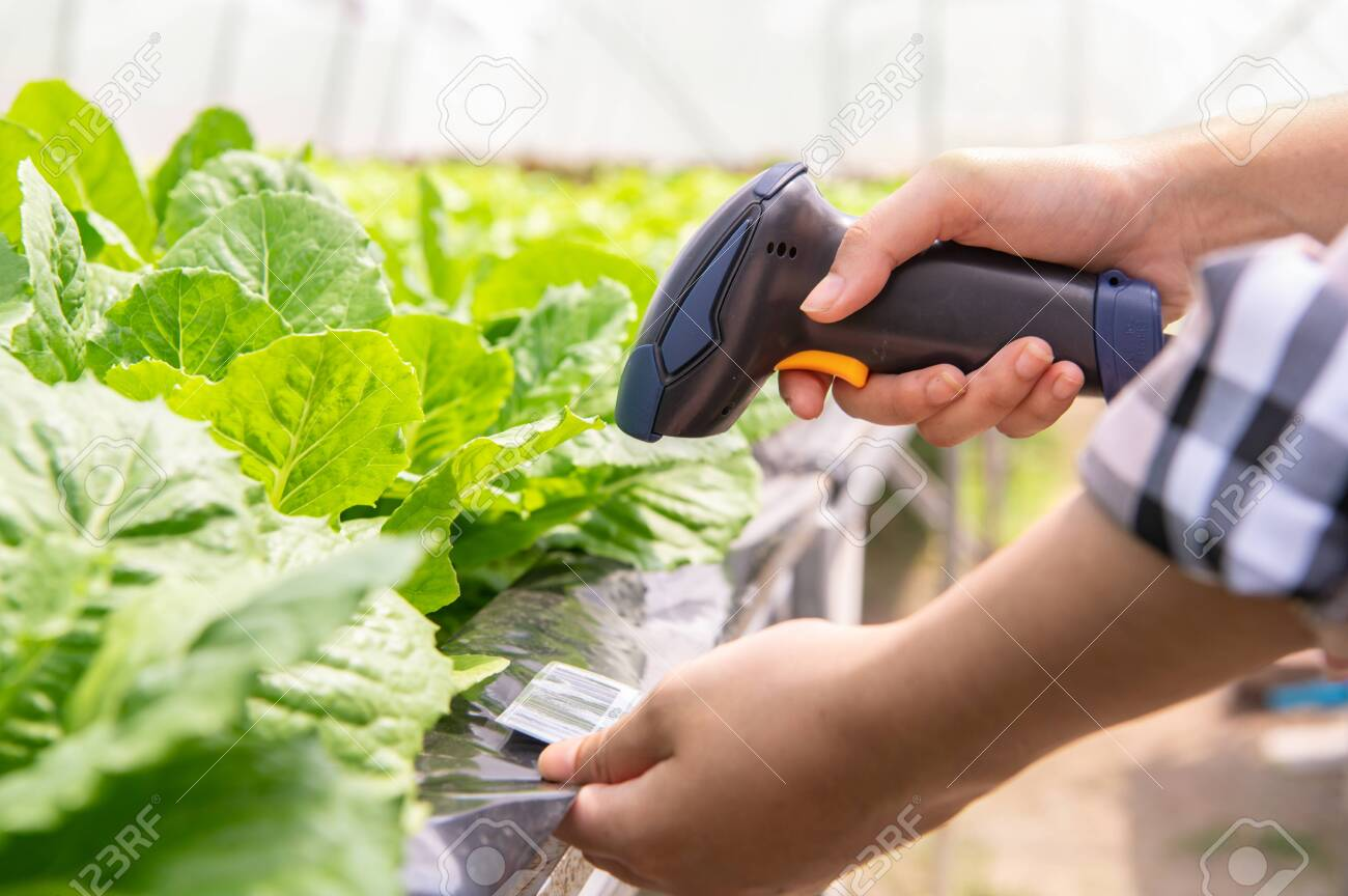 Closeup of modern farmer checking organic vegetables identification with barcode scanner in hydroponics farm futuristic scanning system. Technology and futuristic business. Agriculture and farming - 132076026