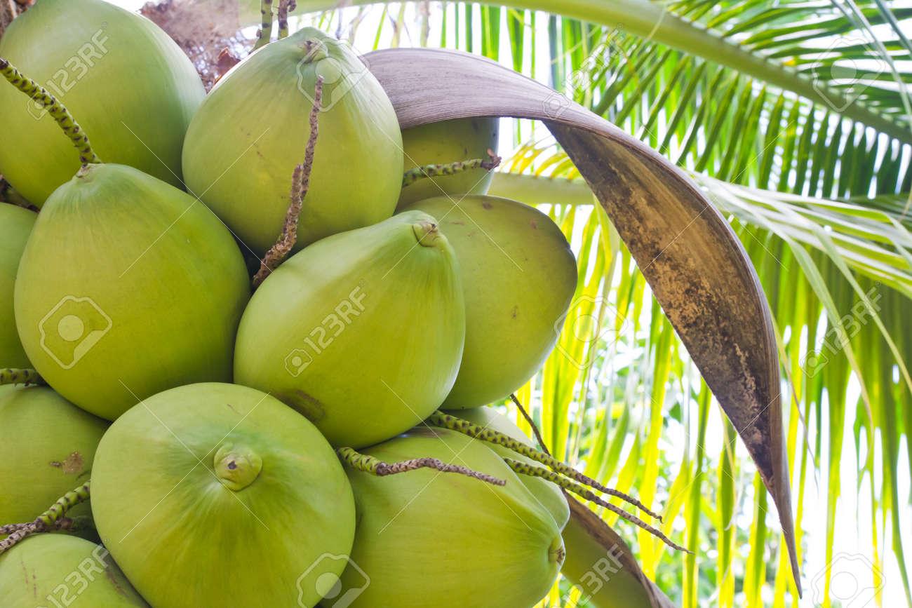 noix de coco verte