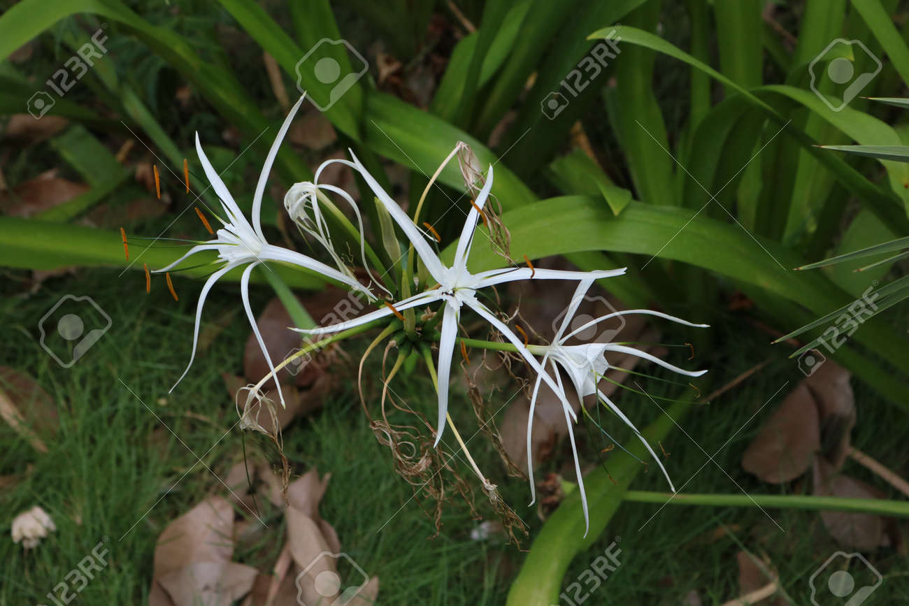 White Star Shape Flowers Stock Photo, Picture And Royalty Free Image ...
