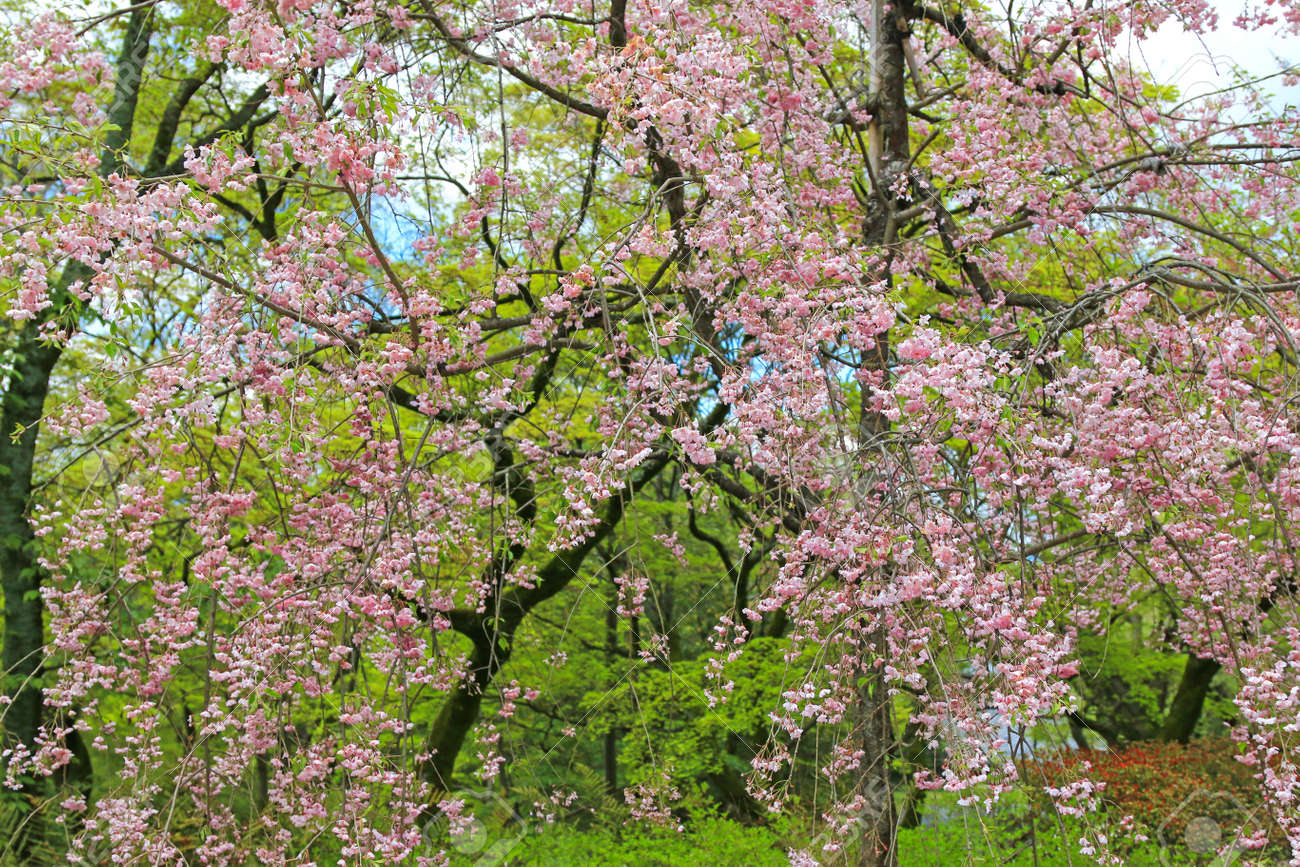 Sakura Cherry Blossom Trees With Pink Flowers During Spring In