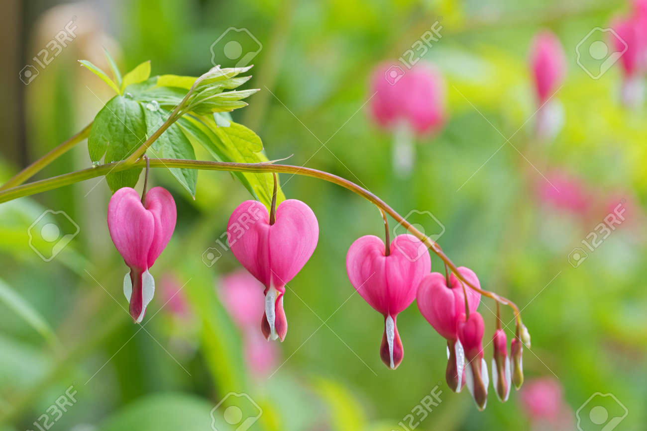 Soft Focus Of Heart Shaped Bleeding Heart Flower In Pink And Stock