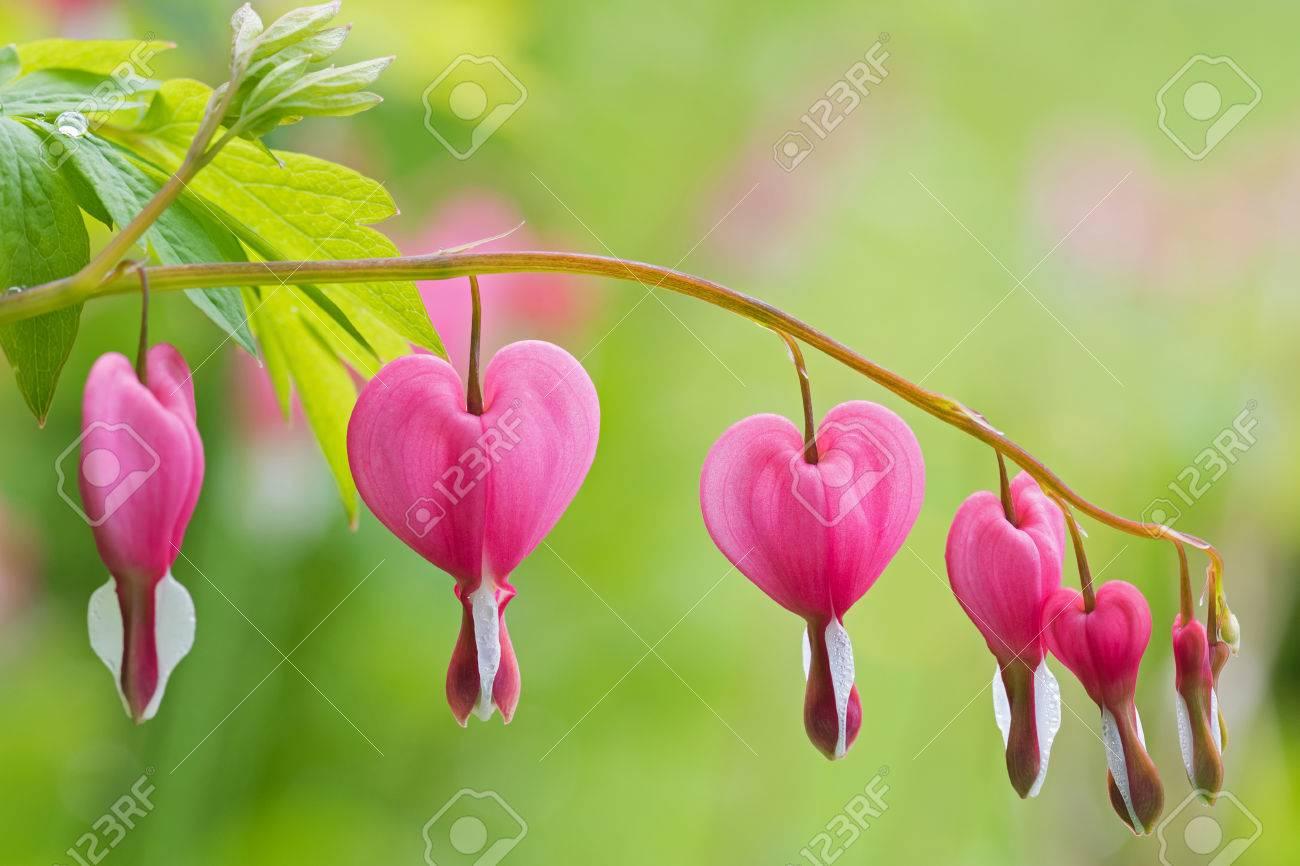 El Enfoque Suave De La Flor Del Corazón Sangrante En Forma De