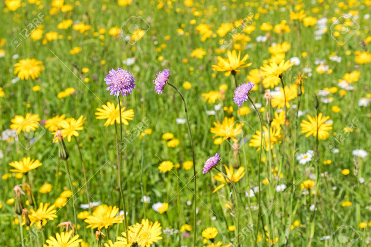 Field scabious flower blossoming in the yellow green meadow field scabious flower blossoming in the yellow green meadow surrounded by other colorful spring flowers during mightylinksfo