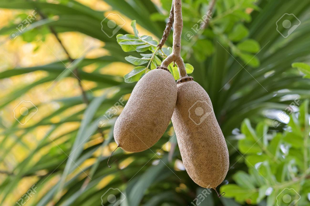 Where is growing quiellia (sausage tree) Sausage tree at home 49