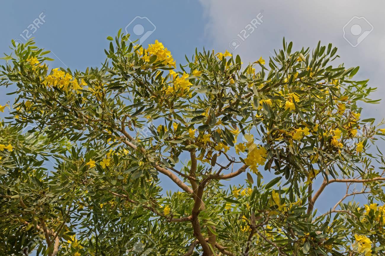 Yellow Flowers Of Huge Caribbean Trumpet Tree Grown In Thailand
