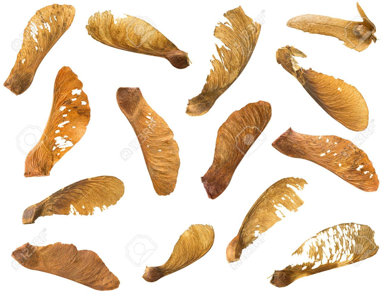 Many dried Sycamore Maple seed with natural fruit pod with wings