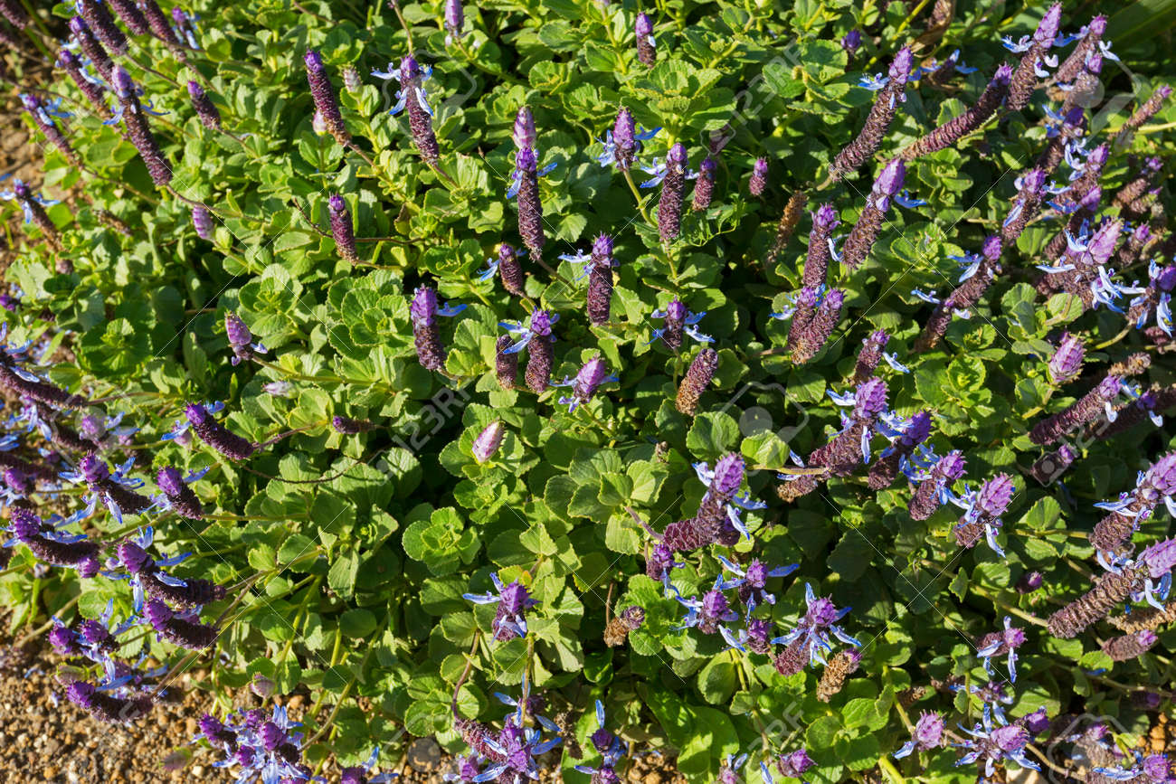 Dogs Bane Groundcover Flower Spikes In Blue Purple Blossoming