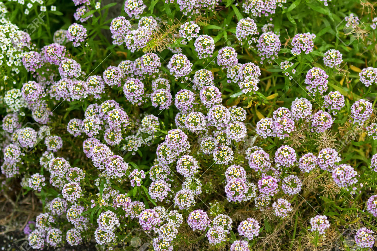 Pale Purple And White Flowers Of Alyssum Growing In Garden In