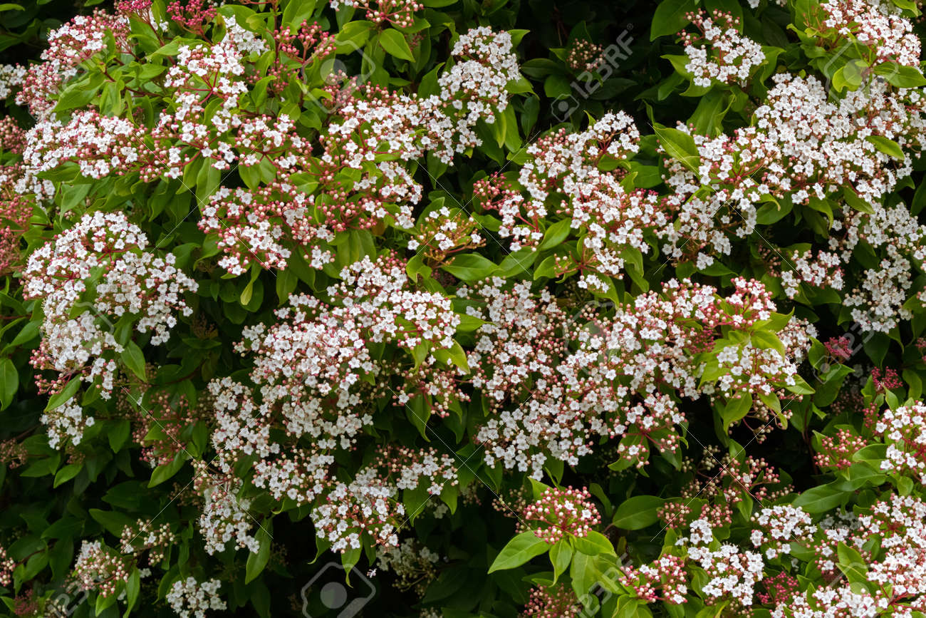 Small White Flowers With Pink Buds Of Viburnum Tinus Blossoming