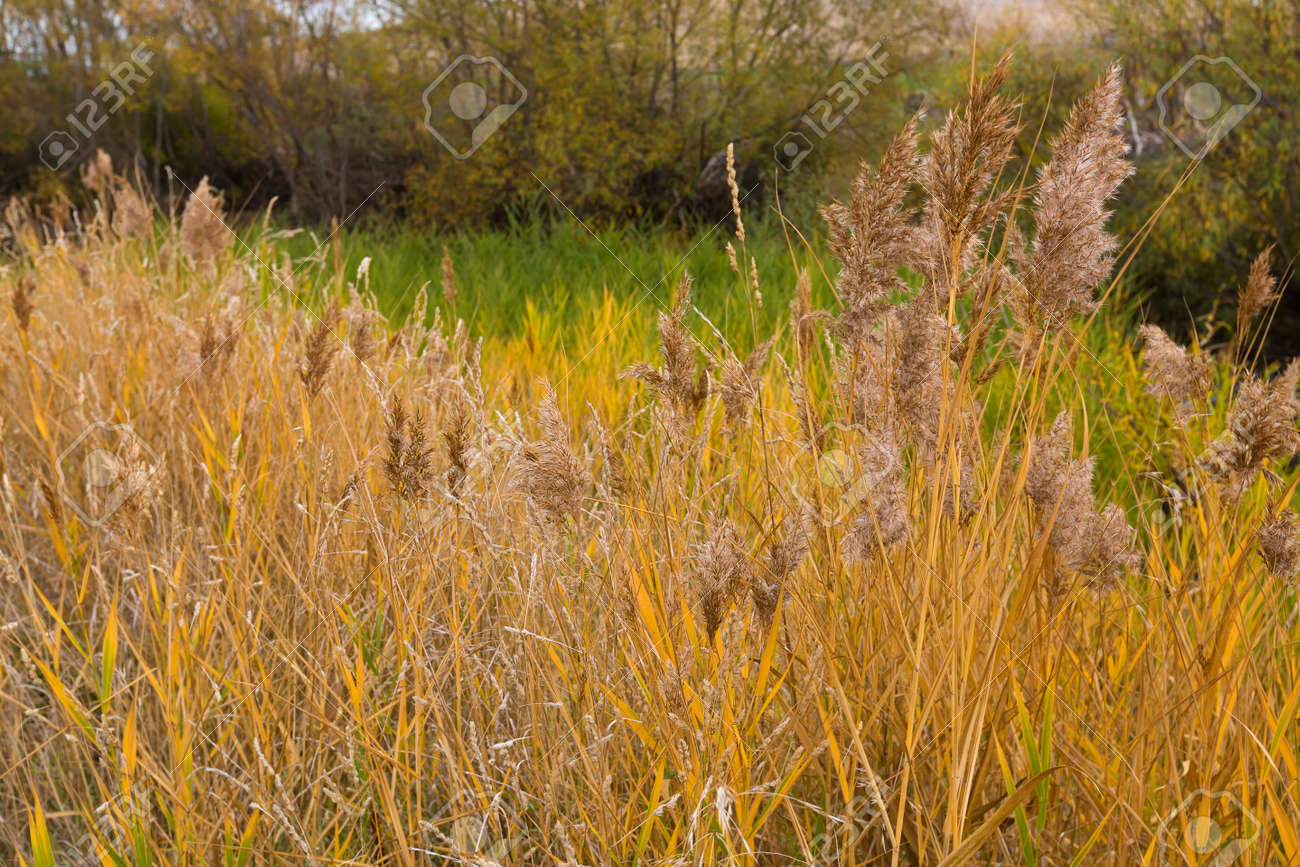 Ornamental Grasses Australia Colorful yellow golden color of ornamental reed grass in the stock colorful yellow golden color of ornamental reed grass in the field autumn in tasmania workwithnaturefo
