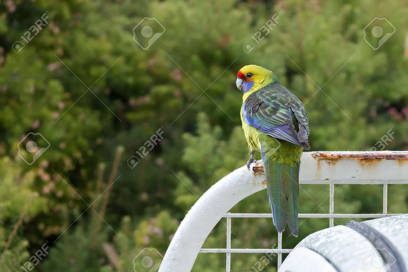 Green Rosella Tasmanian Rosella Parrot Bird With Yellow Head Stock Photo Picture And Royalty Free Image Image 80715263