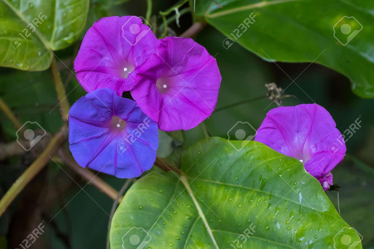 Closeup Colorful Ocean Blue Morning Glory Flower In Blue Purple