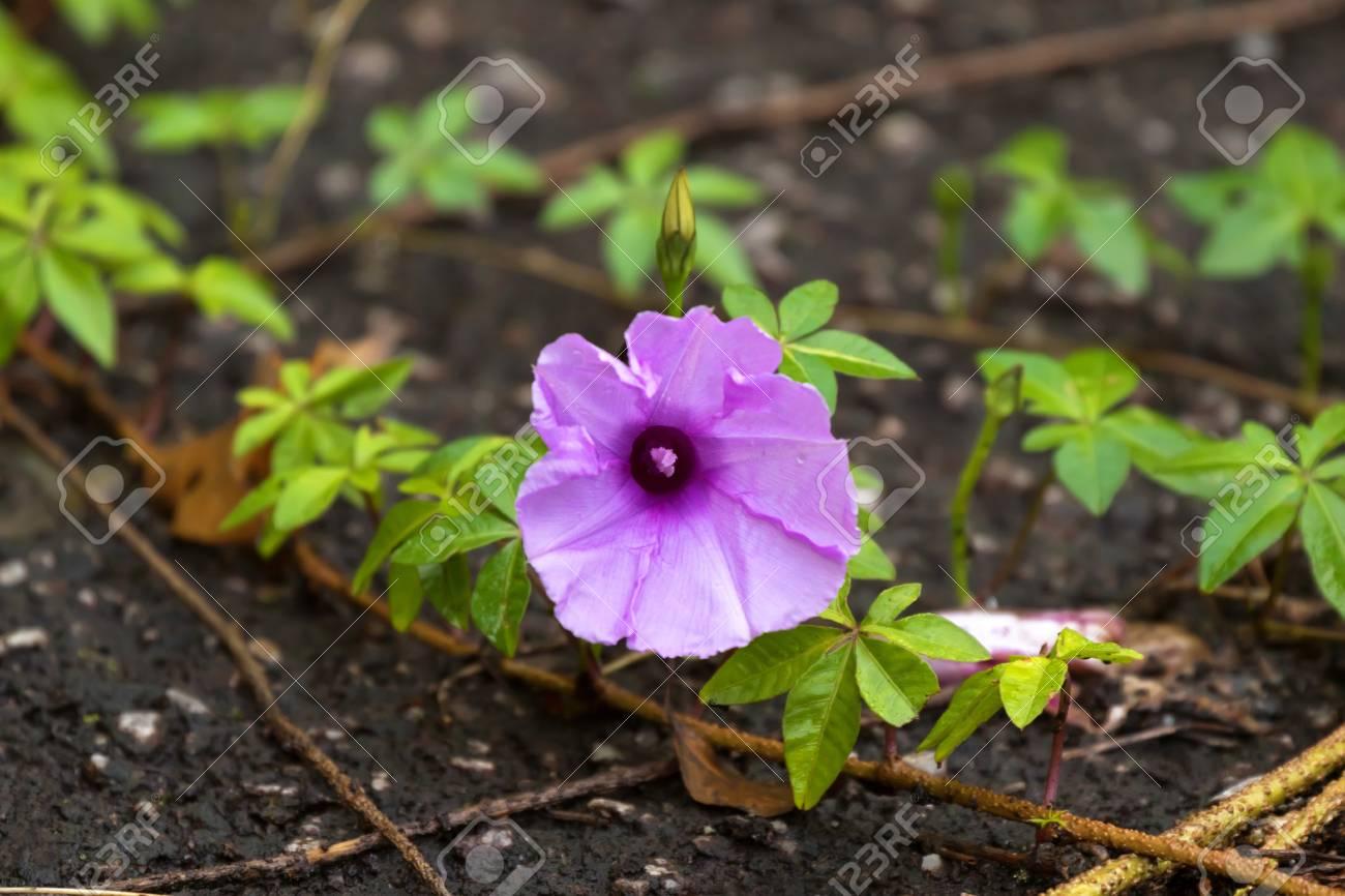 Purplish blue color of cairo morning glory flower vining perennial purplish blue color of cairo morning glory flower vining perennial with palmate leaves on ground mightylinksfo
