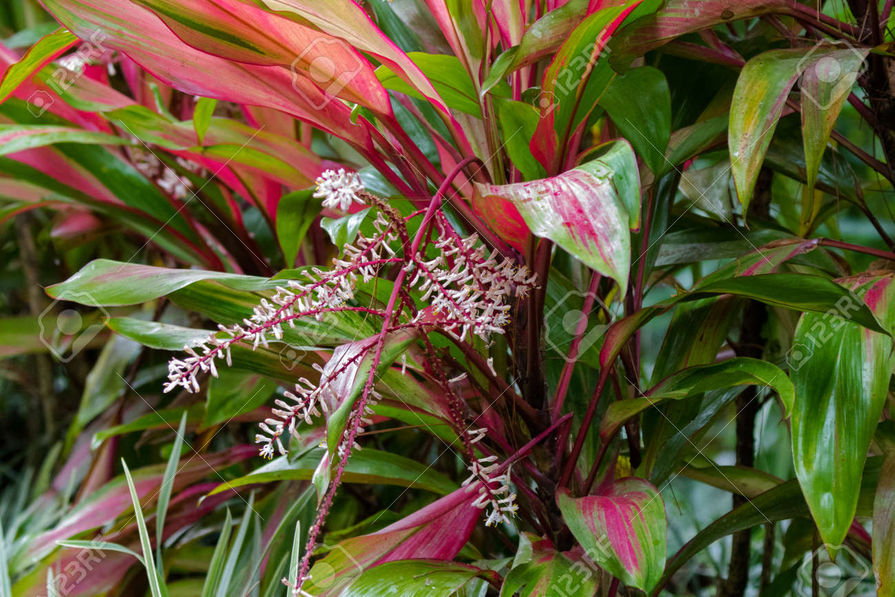 Cordyline Flowering Plant With Red Pink Green Leaves In Bloom