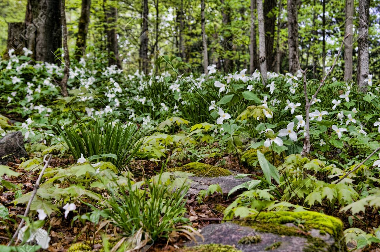 Beautiful Fresh Green Spring Forest With Trillium Flowers Stock
