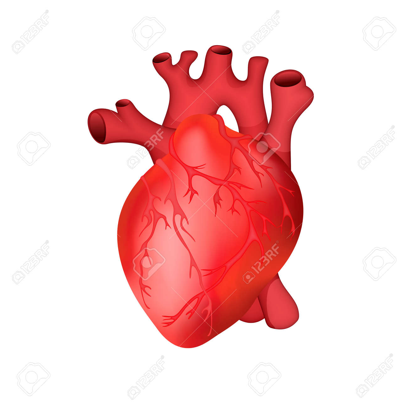 anatomically accurate human heart vector illustration royalty free rh 123rf com human heart vector image human heart vector art