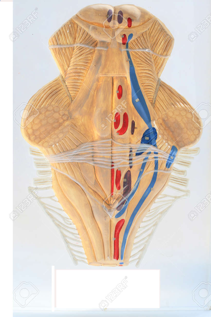 Scheme Of The Projection Of The Nuclei Of Cranial Nerves Closeup ...