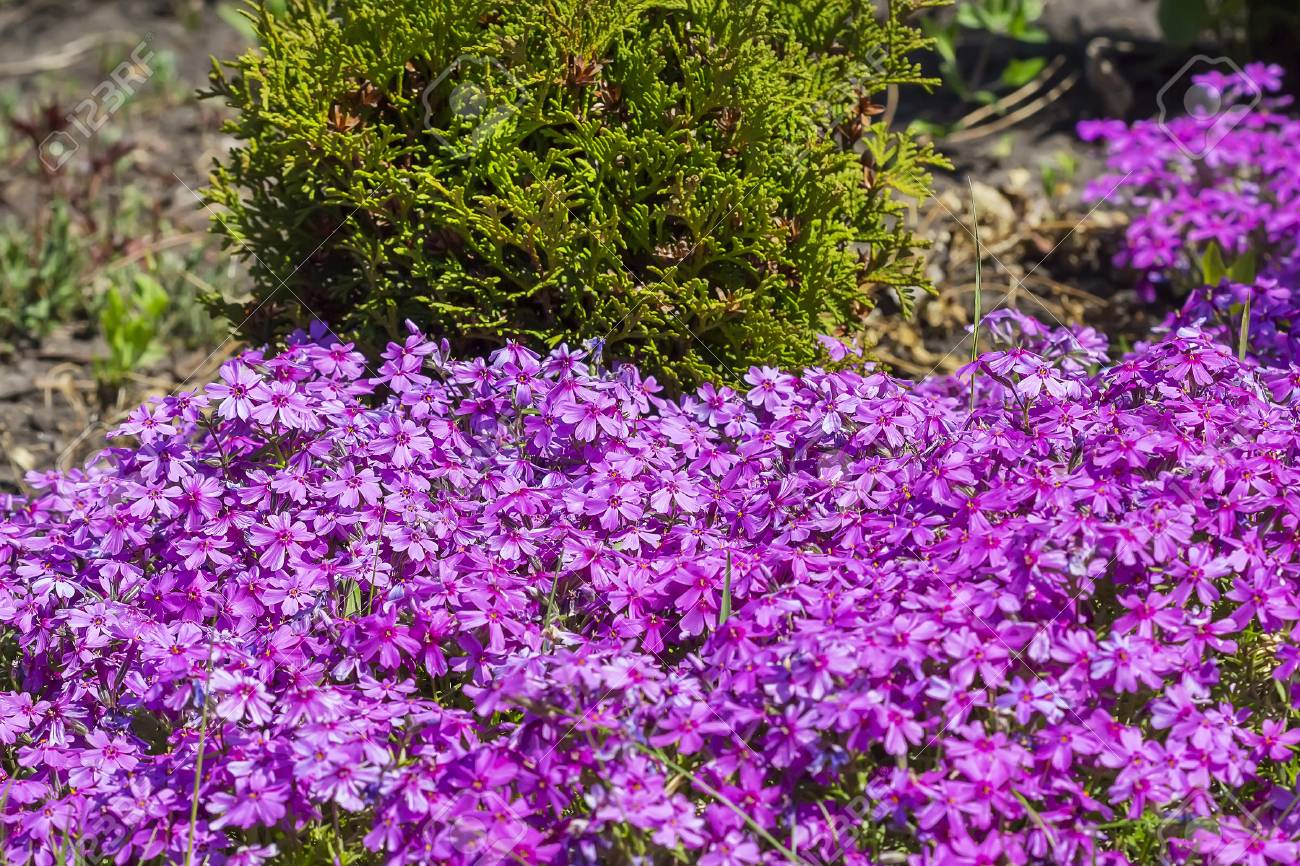 Flowering Bushes On The Dacha Phlox Subulate Numerous Pink Blossoms