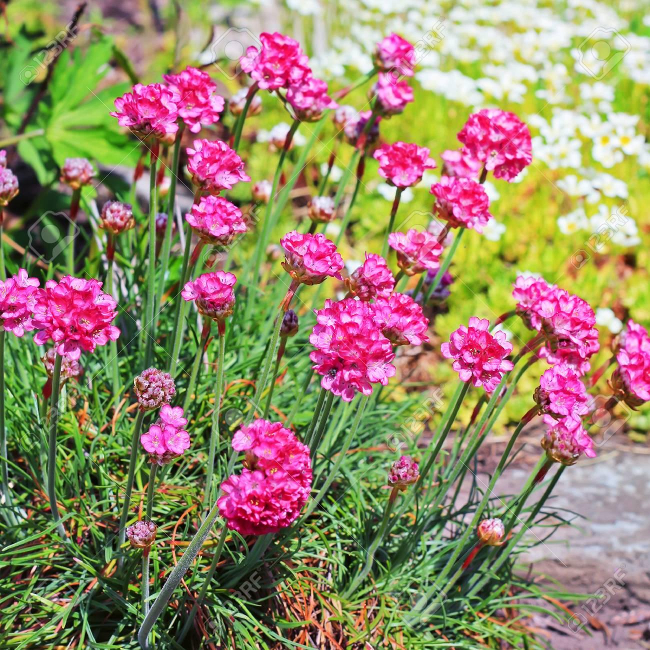 Seaside Thrift Armeria Maritima Plumbaginaceae Decorative