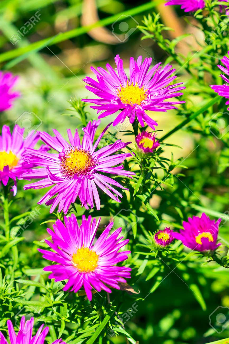 L Aster De Coussin Aster Dumosus Automne Aster Vivace A Fleurs