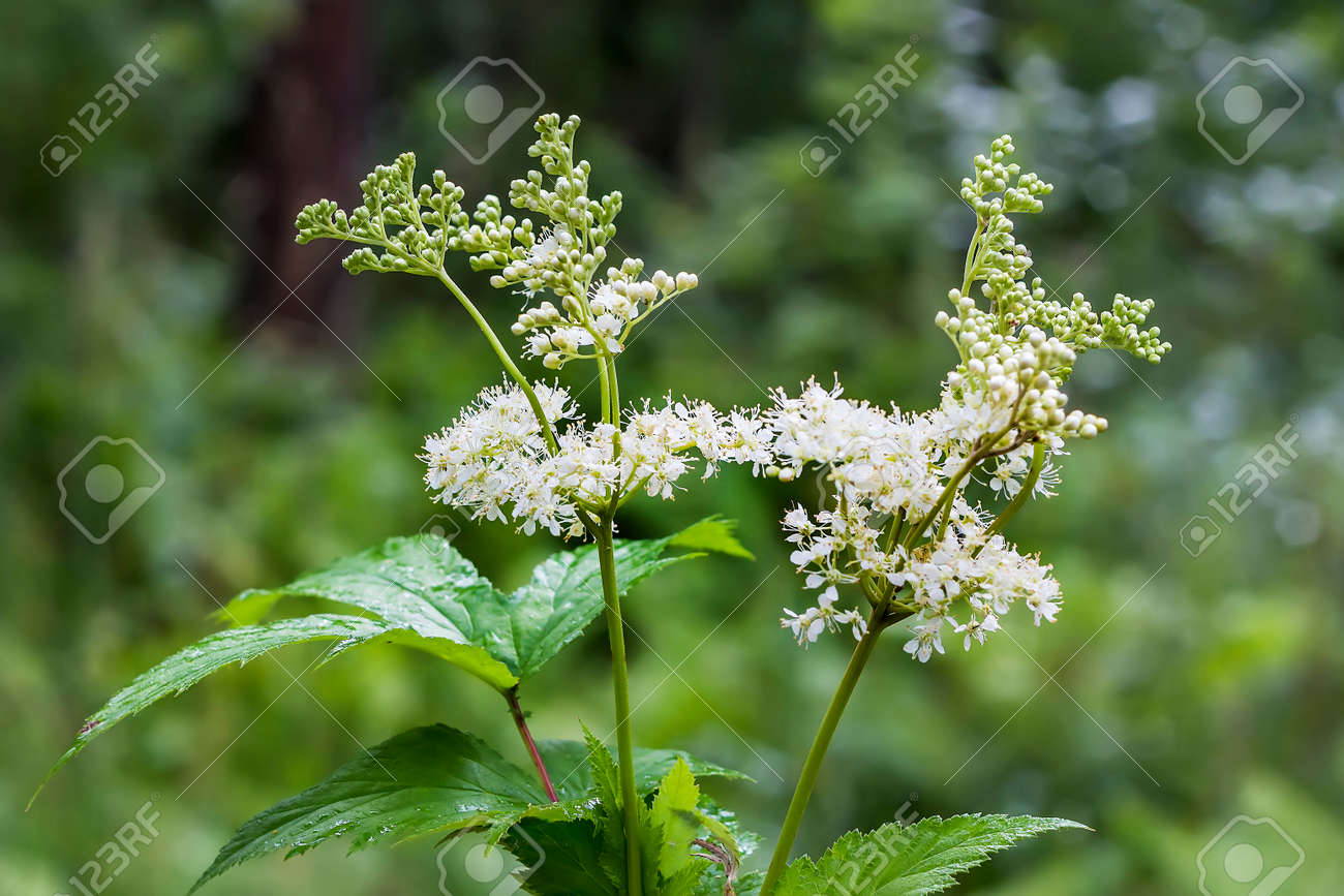Meadowsweet (Latin name Filipendula ulmaria). Medicinal plant in the natural environment of growth, Russia,Siberia Stock Photo - 67570243
