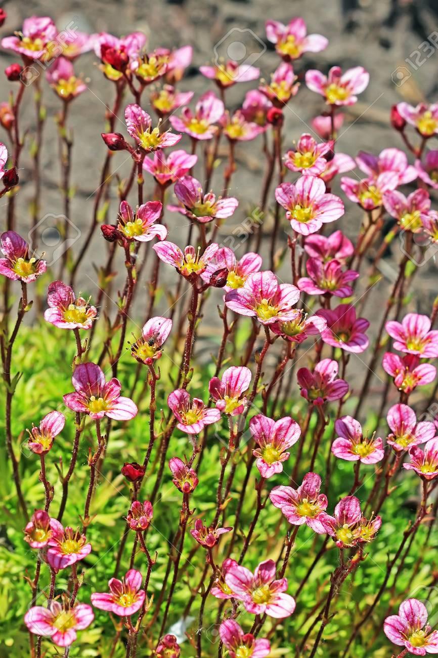 Groundcover Garden Plant Arends Saxifraga Saxifraga Arendsii