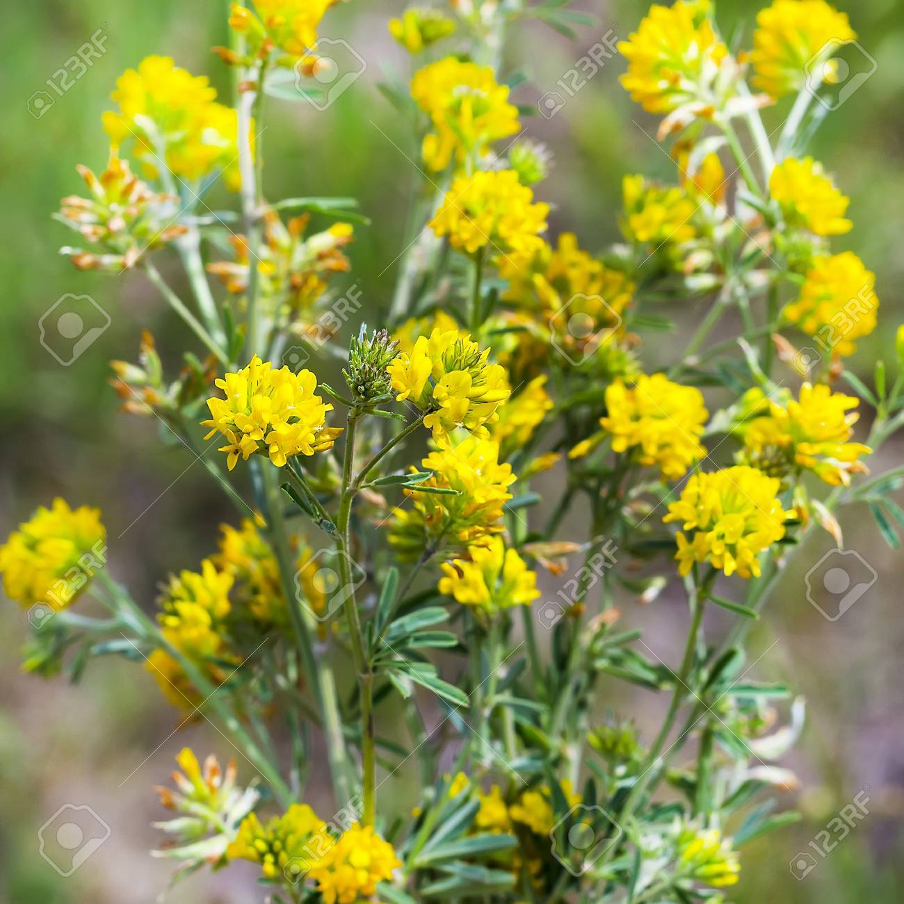 Sickle Alfalfa Or Yellow Latin Name Medicago Falcata Is A Stock