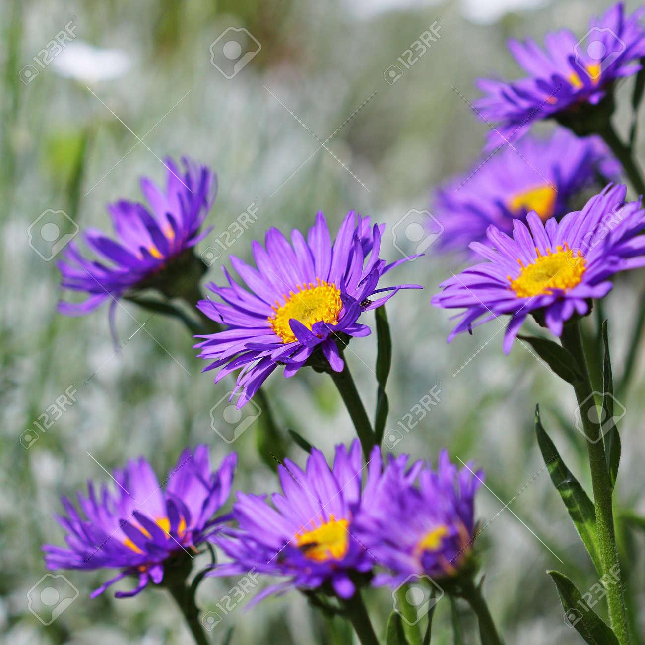 The alpine aster aster alpinus decorative garden plant with stock photo the alpine aster aster alpinus decorative garden plant with blue flowers izmirmasajfo