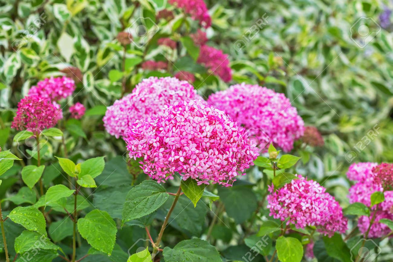 Dekorativer Gartenstrauch Hydrangea Rosa Baum Die Sorte Annabelle