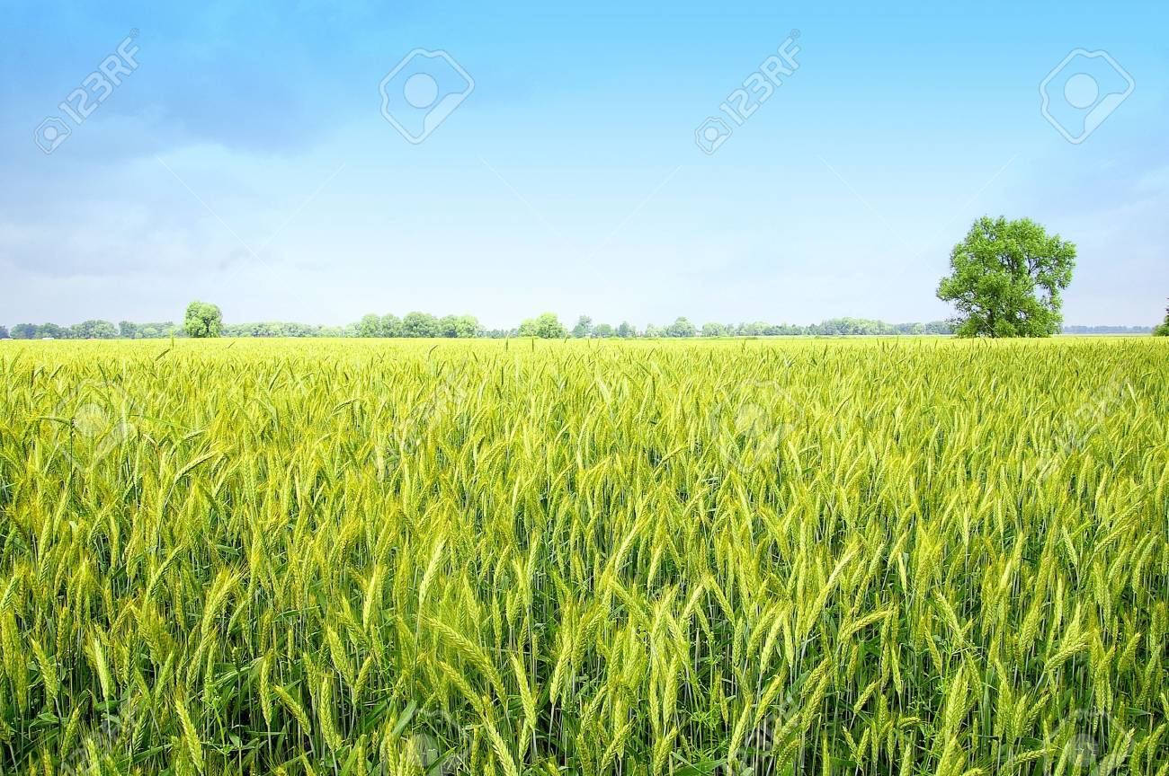 The rye starts to grow ripe in the middle of summer Stock Photo - 3262103