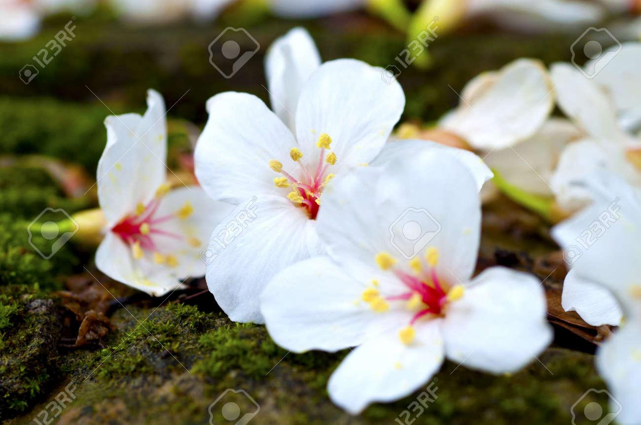 Banque dimages , Taiwan fleur blanche bois Tung fleur noir jaune rouge vert en plein air
