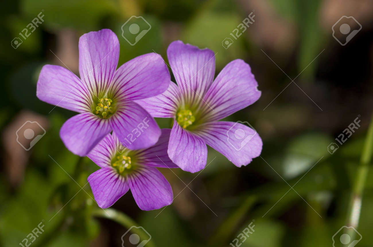 Taiwan asian plant outdoor leaf flower green natural park Background Oxalis purple Stock Photo - 14699570