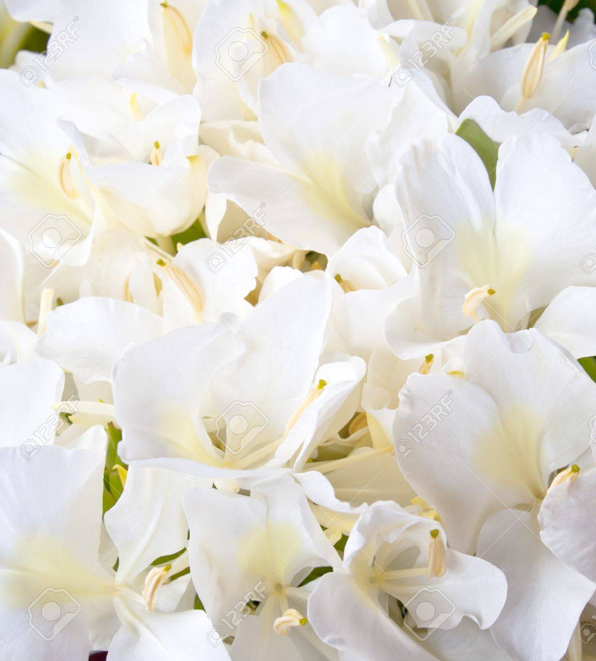 More White Ginger Flower Stock Photo Picture And Royalty Free Image