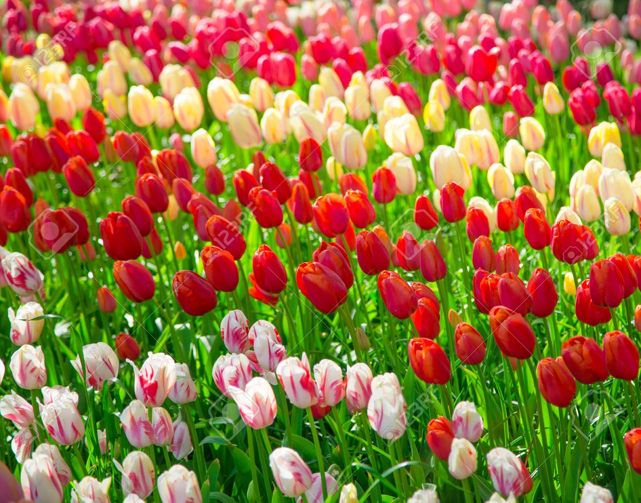 Flowers tulips glade of red pink and white fresh tulips colorful flowers tulips glade of red pink and white fresh tulips colorful tulips in mightylinksfo